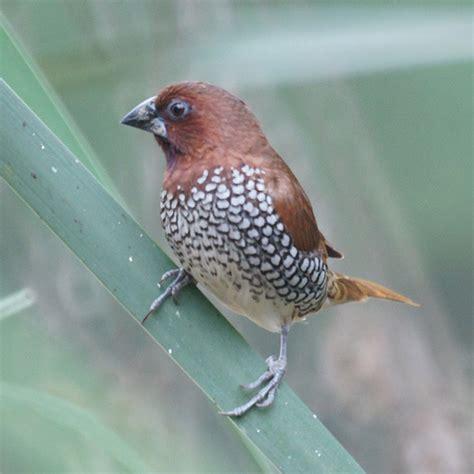 nutmeg mannikin added to california state list audubon