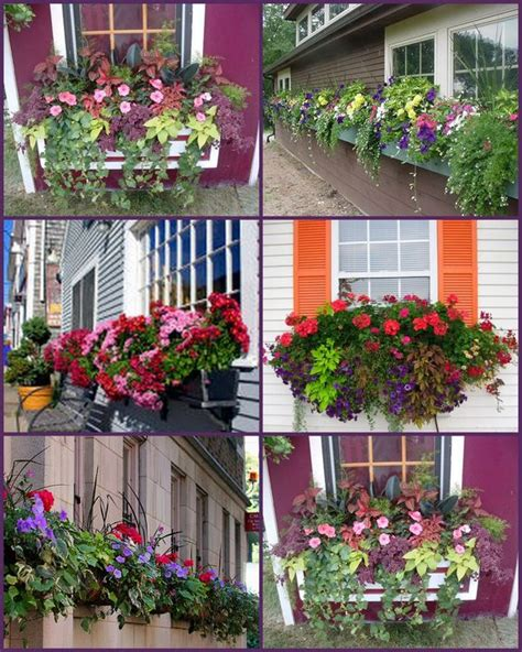 flowers for window boxes in sun the world s catalog of ideas