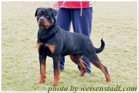 rottweiler puppies price rottweiler puppies for sale prashant 1 3145 dogs for sale price of puppies