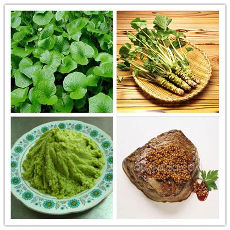 200pcs Lot Wasabi Seeds Japanese Horseradish Seed Where To Buy Seeds For Vegetable Garden