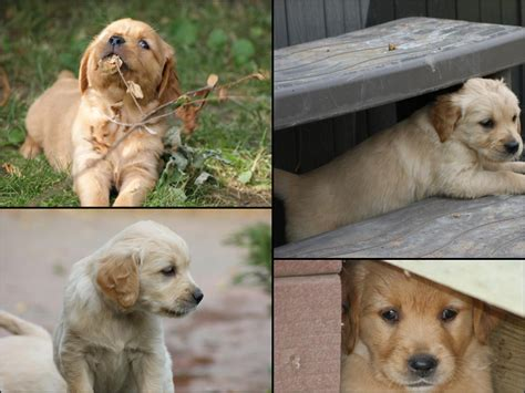golden retriever puppies for sale saskatchewan smoke ngold retrievers golden retrievers sask saskatchewan breed breeder