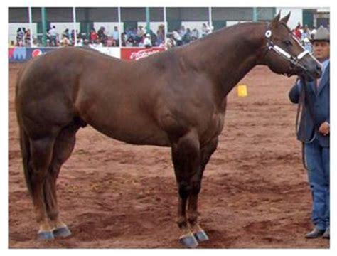 caballos sementales cuarto milla mi primo el ce 243 n my cousin chion nombre quot scores