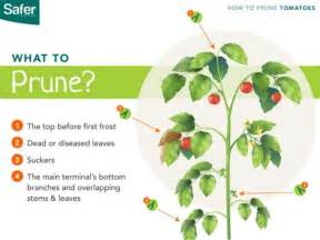 Patio Tomato Plants How To Prune Tomato Plants The Right Way