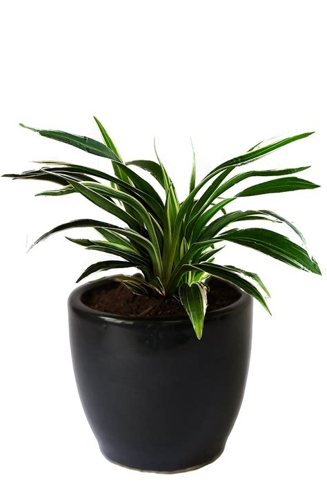 air purifying plants rollingnature