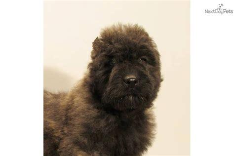 bouvier des flandres puppies for sale bouvier des flandres puppy for sale near southeast missouri missouri f28871b8 b031