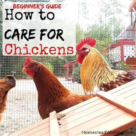 how to care for backyard chickens how to care for backyard chickens 28 images raising
