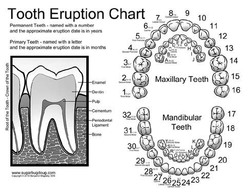 tooth charting diagram tooth numbering chart for created by the amazing