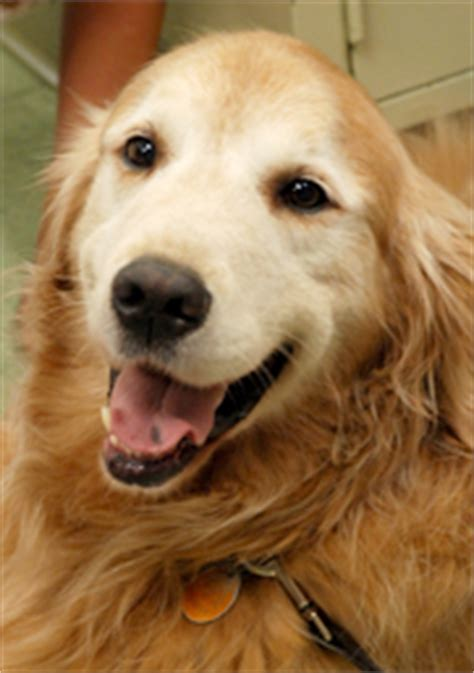 signs of cancer in golden retrievers golden retriver nicola s cancer studies