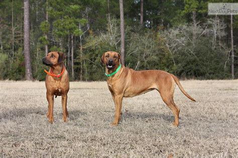 rhodesian ridgeback puppies florida rhodesian ridgeback near the owner photo breeds picture