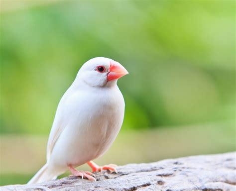 white finch birds www imgkid com the image kid has it