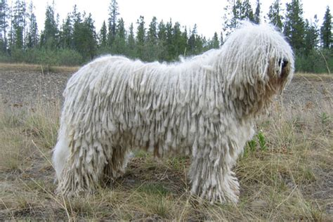 komondor puppies for sale komondor puppies for sale from reputable breeders