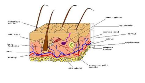 diagram of human skin 5 structure of skin for