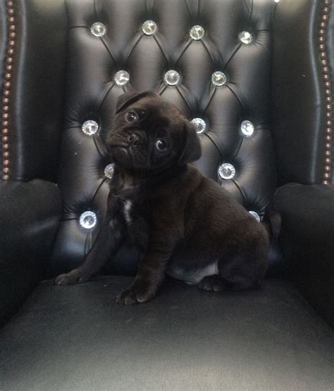 pug x chihuahua puppies for sale 3 4 pug x 1 4 chihuahua puppies for sale leter ceredigion pets4homes