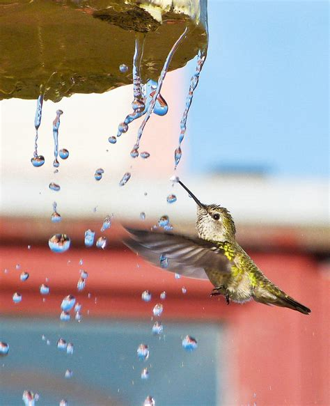 how to get hummingbirds to come to your city audubon