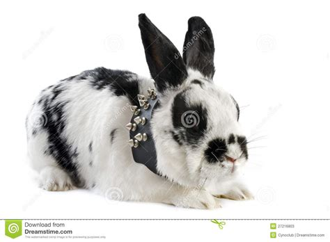 Bunny Collar rabbit with collar stock photos image 27216803