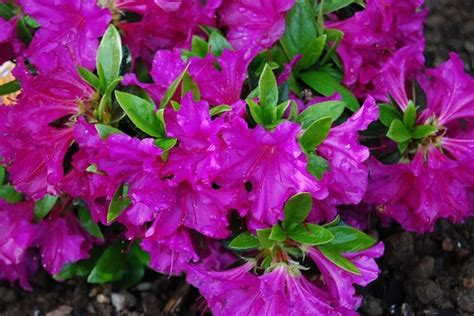 fiori azalee azalea potatura piante per giardino potare le azalee