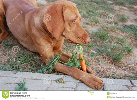 dogs eat carrots carrot royalty free stock photo image 11196625