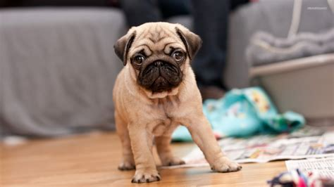free pug puppies pug puppies wallpaper hd 18 widescreen wallpaper