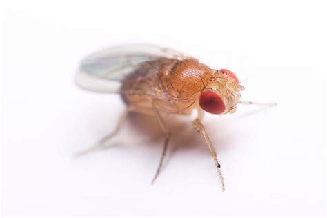 fruit flies types of fruit flies fruit fly species terro 174
