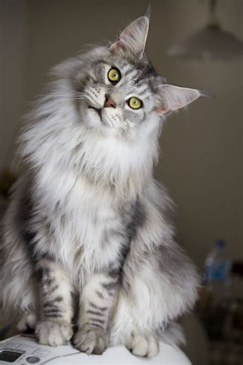 Mycybertwin Chats For You The Human Race Becomes Unneccessary by Maine Coon Cat By Aura Thinglink