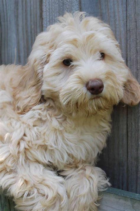 labradoodle puppies mn 1000 ideas about australian labradoodle on labradoodles labradoodle