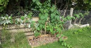 taille des framboisiers au jardin forum de jardinage