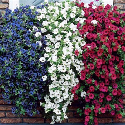 surfinie fiori surfinia piante da giardino coltivazione surfinie