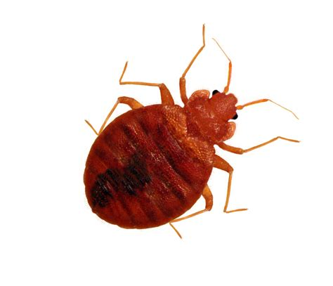 How Are Bed Bugs Spread by Inbreeding Allows Bed Bugs To Spread Studies Find