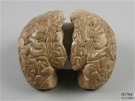 How To Make A Paper Mache Brain - h1704 anatomical model human brain papier mache