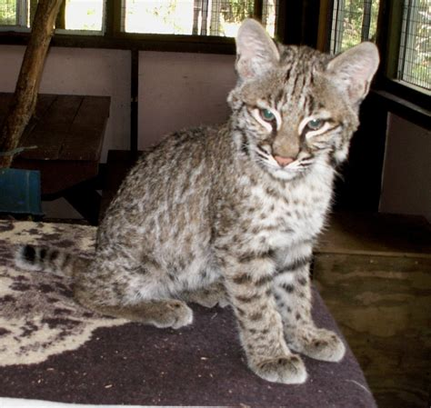 Cat Tembok Outdoor Mix One image gallery pet bobcat