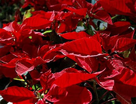 turning poinsettias red again growing a greener world 174