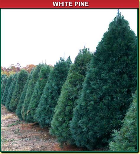white pine wisconsin tree guy