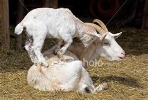 The Nanny Goat S Kid mr chuckles april 2009