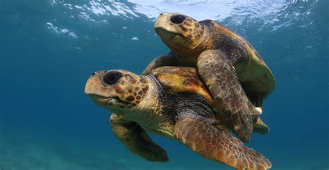 do turtles need heat ls in depth how will climate change affect animal ratios