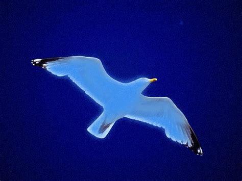imagenes sensoriales de juan salvador gaviota dibujo para pintar de juan salvador gaviota imagui