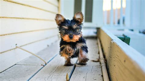yorkie running 9 puppies that will your pet stop part 2