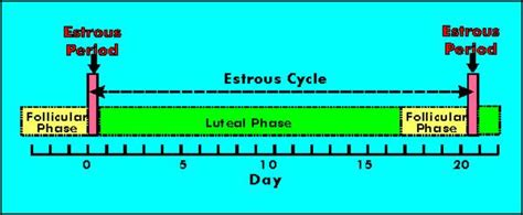 estrus cycle estrus in dairy cattle signs and detection