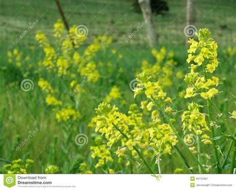 fiori di senape fiori gialli della pianta della senape fotografia stock