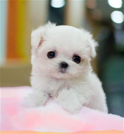 miniature maltese puppies dogs pets maltese puppies and dogs