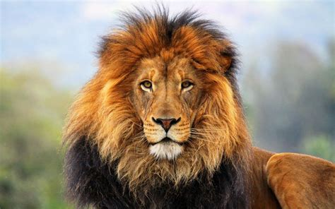 wallpaper full hd lion lion full hd wallpaper and background image 1920x1200