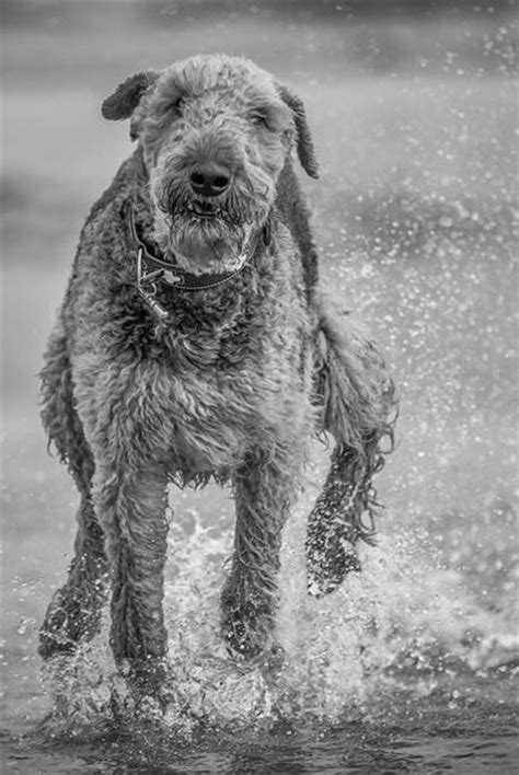 1000+ images about AIREDALES on Pinterest