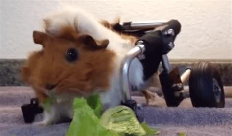 cavia alimentazione la piccola cavia con le rotelle