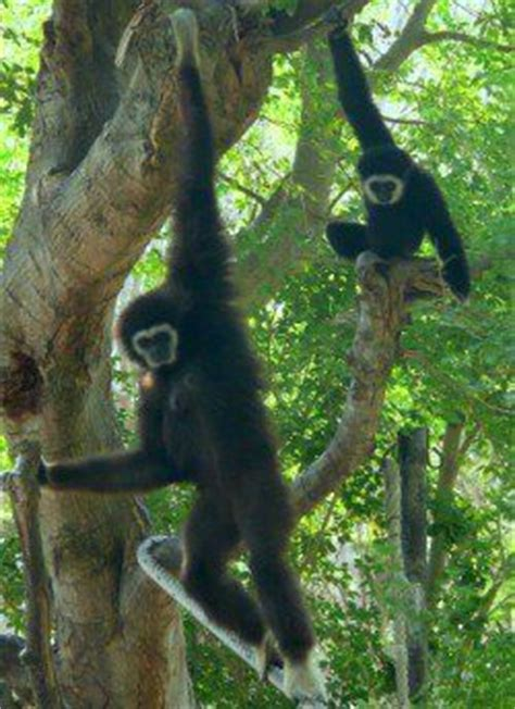 monkey swinging in the tree song monkey swinging from trees google search contemporary