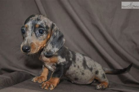 mini dapple dachshund puppies for sale dachshund mini puppy for sale near east tx 994318b7 2b81