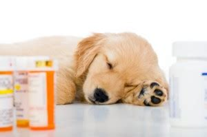 augmentin for dogs your is on antibiotics what do you do next nusentia