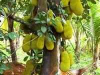 how often do banana trees fruit 74 best images about fruit tree garden on the