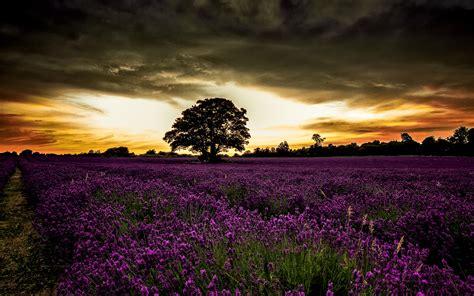 amazing nature pictures 9250 the wondrous pics wondrous purple field sunset wallpapers wondrous purple