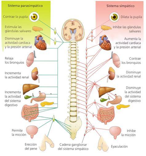 mapa conceptual del sistema nervioso sistema nervosos central periferico vegetativo simp 225 tico