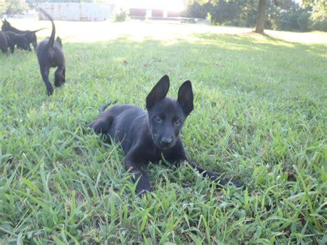 black belgian malinois puppies for sale belgian malinois litter in allen oklahoma black belgian malinois puppies petstew