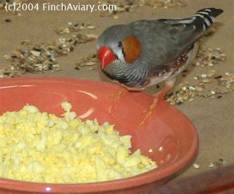 finch aviary care eggfood recipes